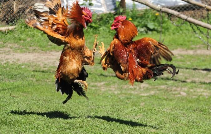 Cockfighting.jpg